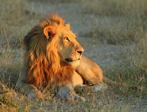 Many safaris this year – Southern Africa shines as usual